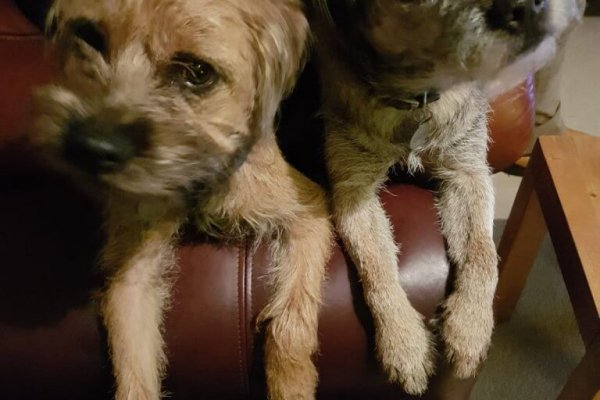 Boarder Terriers Mounted Prints