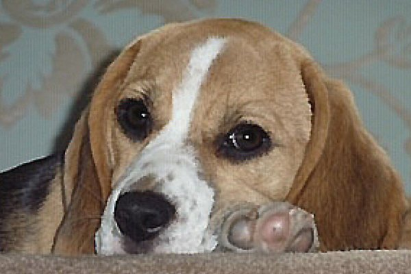 Beagle Hound Prints from your Photograph