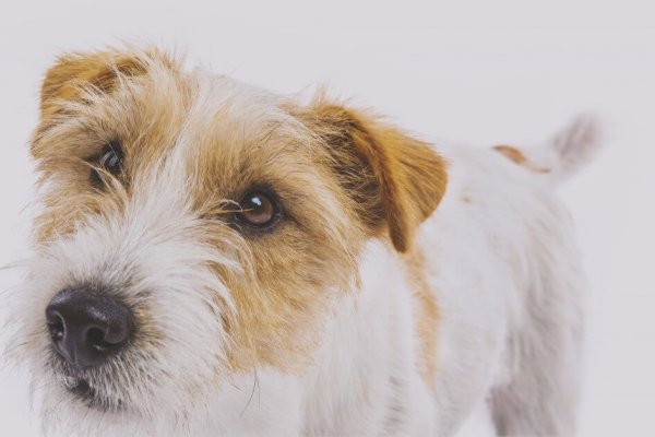 Long Haired Jack Russell Print