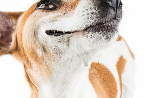 Jack Russell Prints