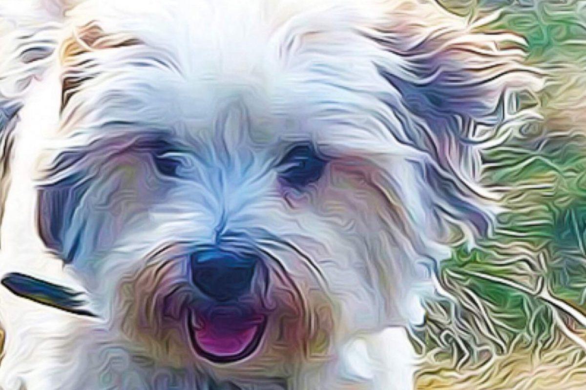 Teddy Terrier Graphic