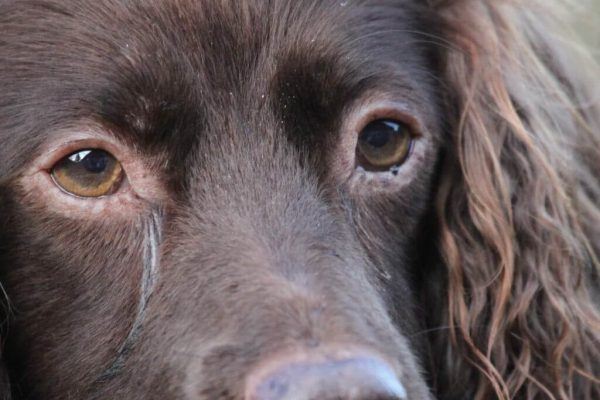 Spaniel Prints from supplied Photograph